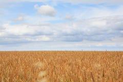 成熟麦子的域。 免版税库存照片