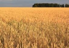 成熟麦子的域。 库存图片