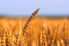 成熟麦子的域在金黄阳光之下的 免版税库存照片