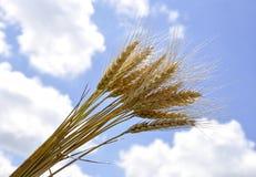 成熟麦子的耳朵反对天空的 库存照片