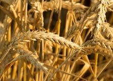 成熟麦子的耳朵在收获前的 库存照片