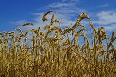 成熟麦子的耳朵在蓝天背景的  免版税库存图片