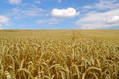 成熟麦子的耳朵在蓝天背景的  库存图片