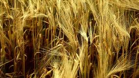 成熟麦子的耳朵 影视素材