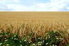 成熟麦子的边界领域 库存图片