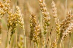 成熟麦子的金黄耳朵 库存照片