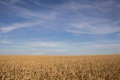 成熟麦子的金黄领域 库存照片