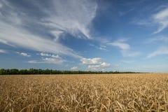 成熟麦子的金黄领域 免版税图库摄影