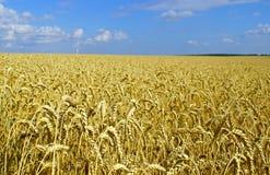 成熟麦子的领域在收获前的 库存图片