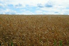 成熟麦子的领域在收获前的 免版税图库摄影