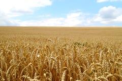 成熟麦子的领域在harves前的 图库摄影