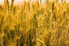 成熟麦子的黄色耳朵在领域的 免版税库存图片
