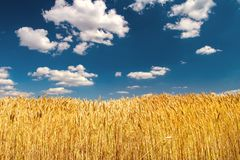 成熟麦子耳朵收获在清楚的蓝天下 库存图片