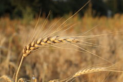 成熟麦子耳朵 免版税库存照片