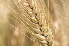成熟麦子,金黄钉收获  库存图片