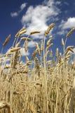 成熟麦子 免版税图库摄影