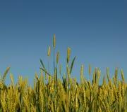 成熟麦子 库存照片