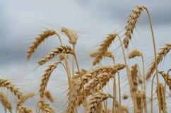 成熟麦子 免版税库存照片
