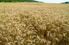 成熟麦子 图库摄影