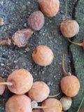 成熟黄色银杏树biloba果子 免版税库存照片