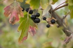 成熟黑醋栗莓果在庭院里增长 及早秋天 免版税库存照片