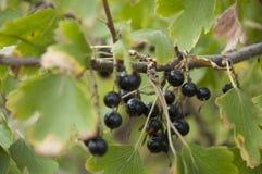 成熟黑醋栗莓果在庭院里增长 及早秋天 免版税库存图片