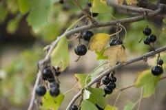 成熟黑醋栗莓果在庭院里增长 及早秋天 库存图片