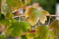 成熟黑醋栗莓果在庭院里增长 及早秋天 免版税图库摄影