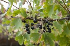 成熟黑醋栗莓果在庭院里增长 及早秋天 图库摄影