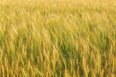 成熟黑麦的域 免版税库存照片