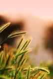 成熟黑麦的接近的耳朵  库存图片