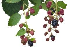 成熟,成熟和被隔绝的未成熟的黑莓 免版税库存照片