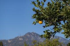 成熟,汁液加利福尼亚橙色生长 图库摄影