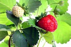 成熟,水多的草莓 绿色叶子和莓果 免版税库存照片