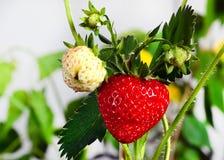 成熟,水多的草莓 绿色叶子和莓果 免版税库存图片