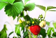 成熟,水多的草莓 绿色叶子和莓果 库存图片