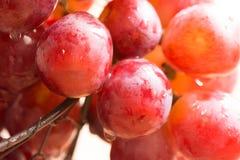 成熟水多的有机红色和桃红色葡萄群用水下降垂悬在铁丝网筐,收获,夏天边缘  免版税图库摄影