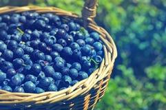 成熟水多的越桔莓果在一个wattled篮子的 图库摄影