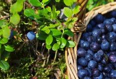 成熟水多的越桔莓果在一个wattled篮子的 库存照片