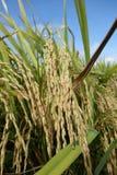 成熟稻田准备好收获 免版税库存图片