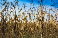 成熟黄色玉米的领域在蓝天的 库存图片