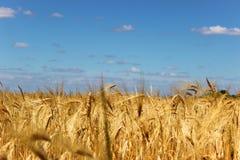 成熟黄色麦子的领域 免版税图库摄影