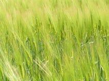 成熟绿色黑麦的领域 免版税图库摄影