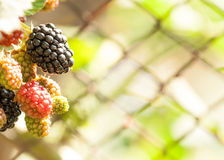 成熟黑莓群 图库摄影