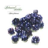 成熟黑莓水彩剪影  免版税图库摄影