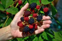 成熟黑莓 库存图片