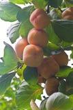 成熟Hachiya柿子, 免版税库存照片