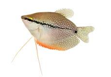 成珠状在白色隔绝的吻口鱼Trichopodus leerii淡水水族馆鱼 库存图片
