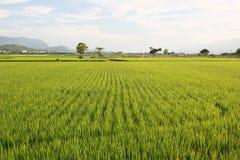 成珠状米和麦子农场在布朗Avenue先生Tai的桐树 免版税图库摄影