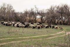 成群一只绵羊和山羊 免版税图库摄影